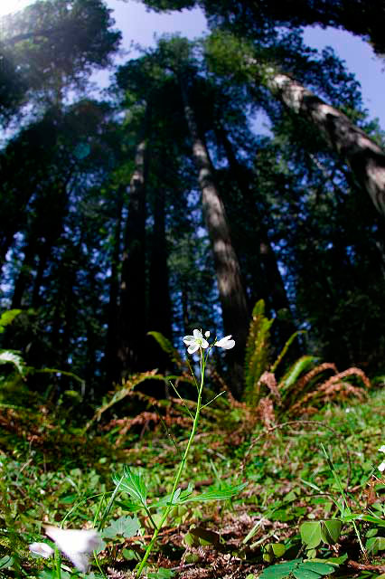 flower and redwoods