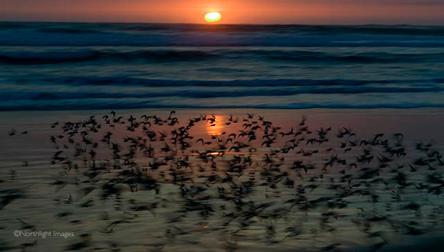 flock of birds on the beach, Pacific city, oregon