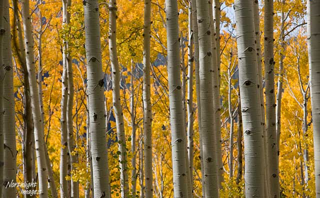 Aspen trunks and fall colours - colorado
