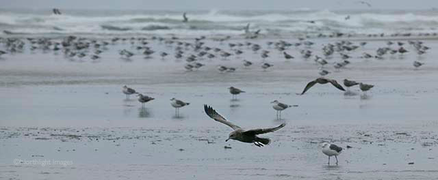 birds on cannon beach in the wind