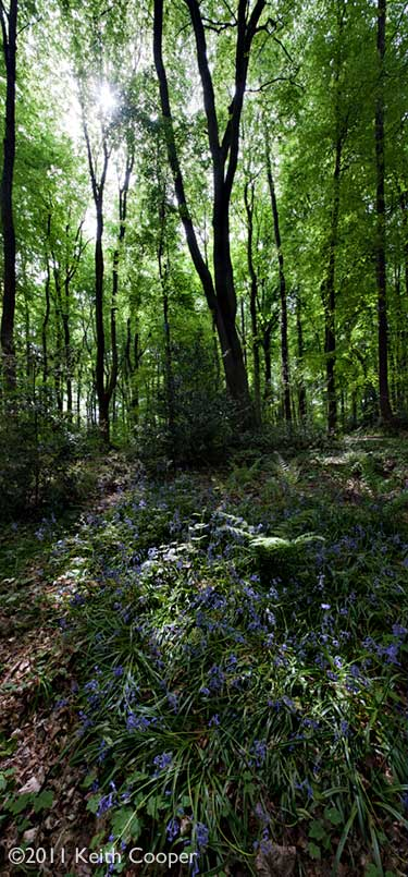 Bluebells in Jubilee wood, leicestershire, England
