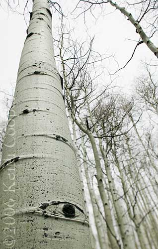Spooky Aspen Eye - Grand Mesa
