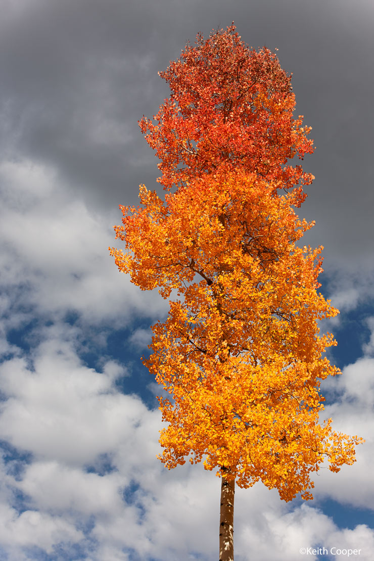 Lone aspen tree. Fall colours in Colorado