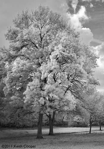 luminous trees in IR