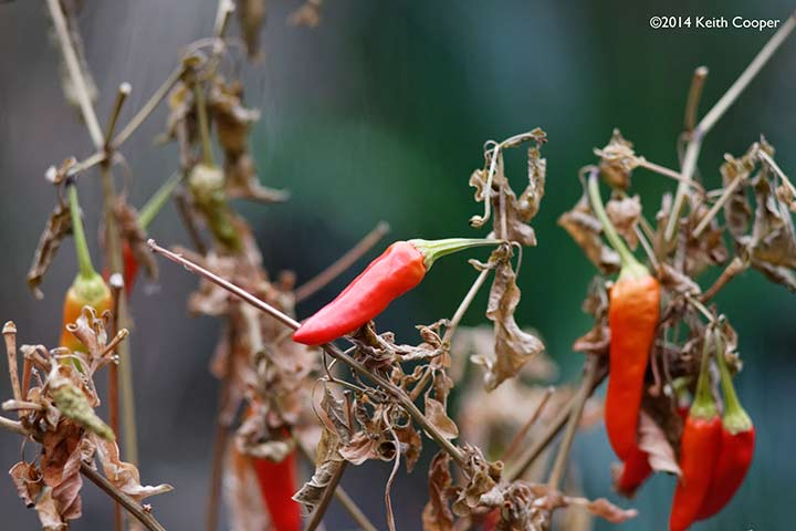 close up picture of chilli peppers