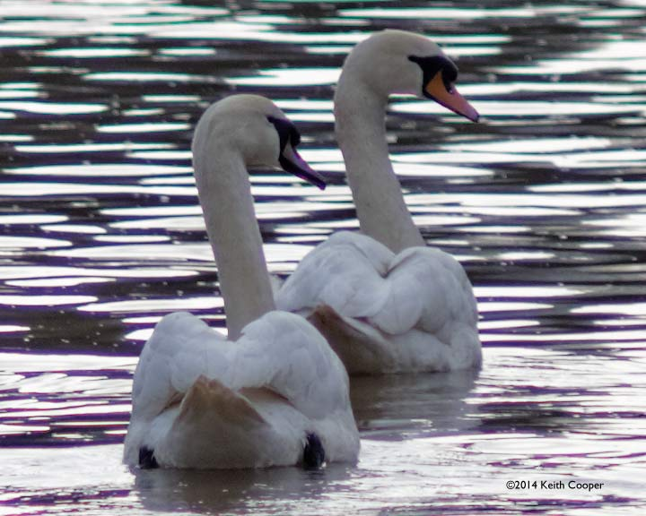 two swans on the river soar