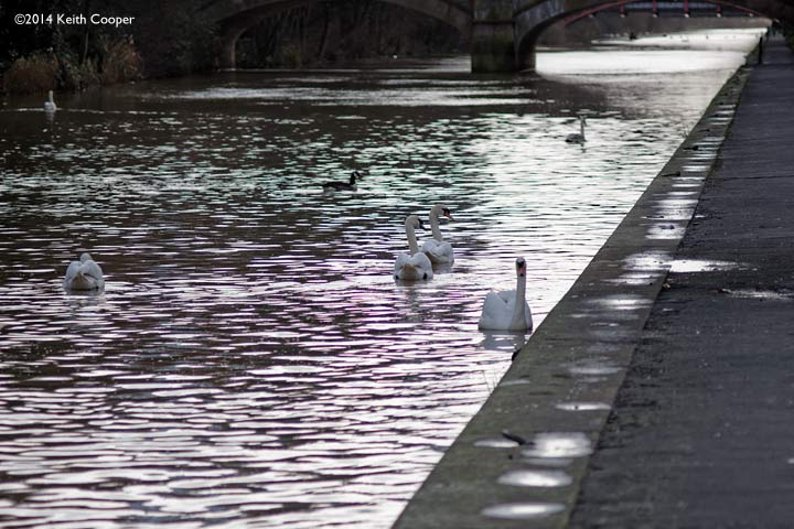 swans on the canal. Out of focus highlights show green/purple fringing