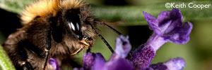 bee - macrophotography