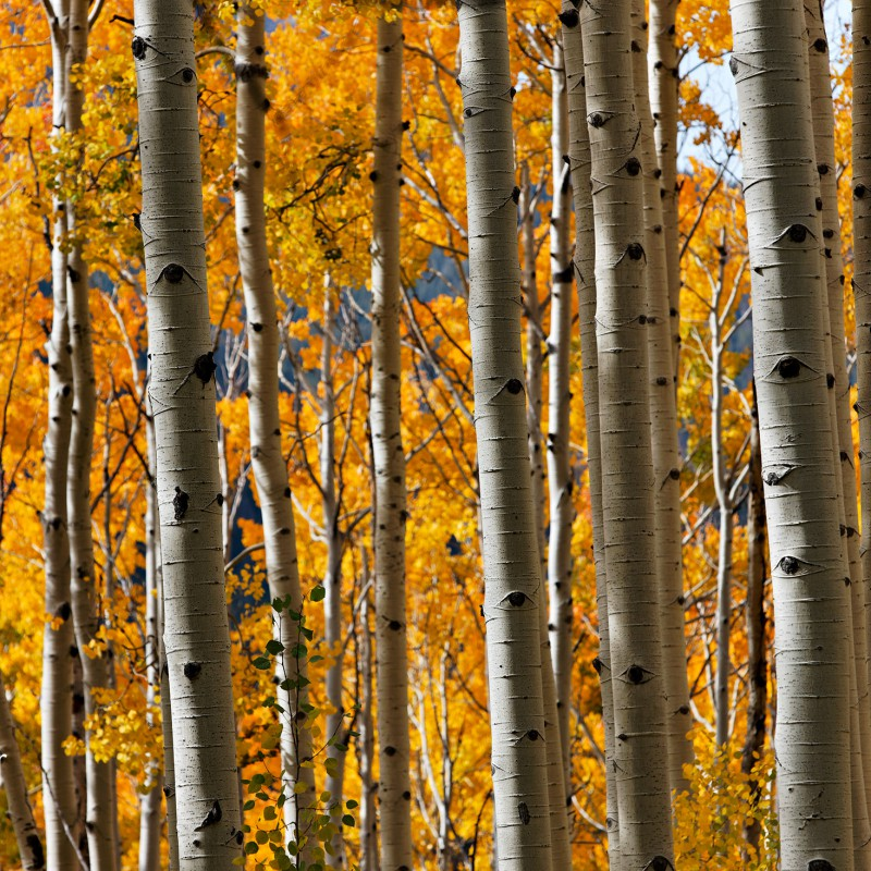 Fall colours - Colorado 2