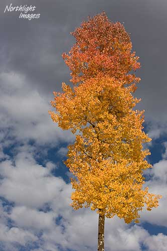 Lone aspen in the rockies