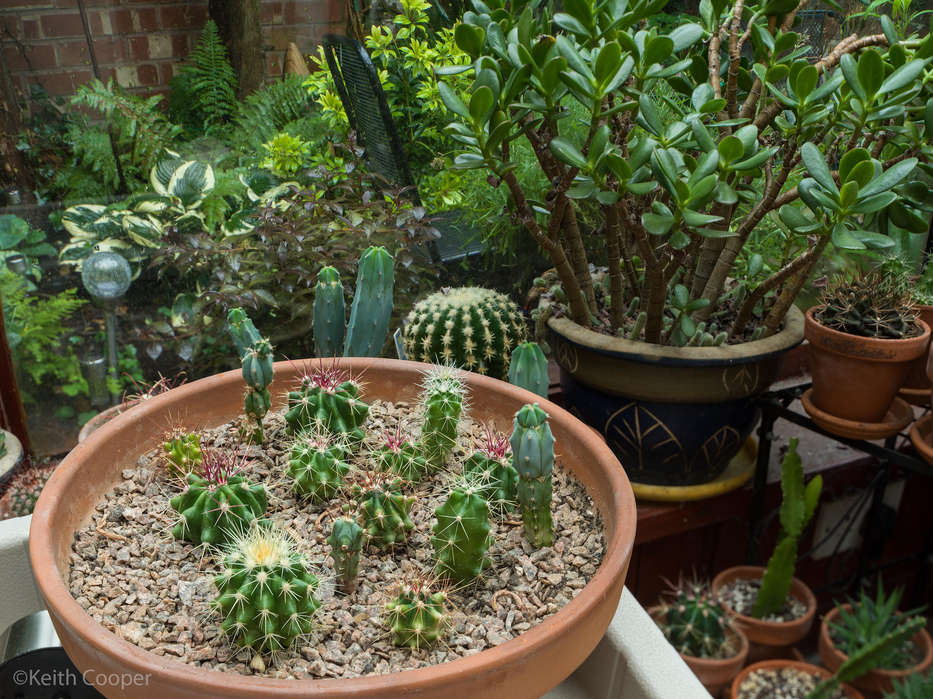 cacti-in-pot